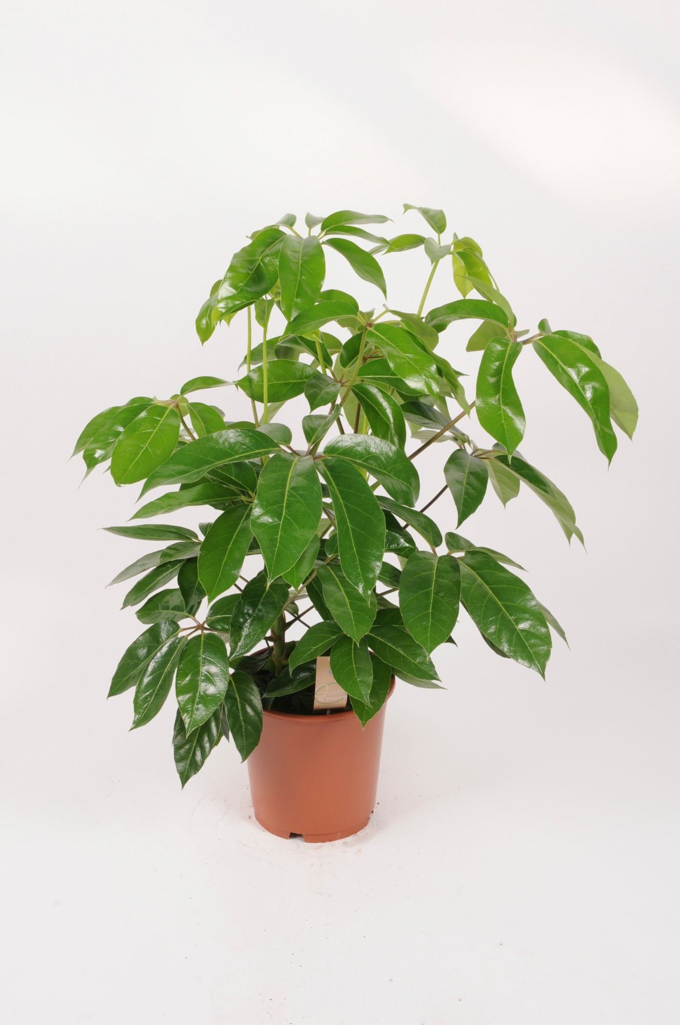 Schefflera Actinophylla Amate 95cm x D24