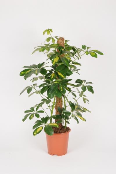 Schefflera Arboricola 75cm x D17