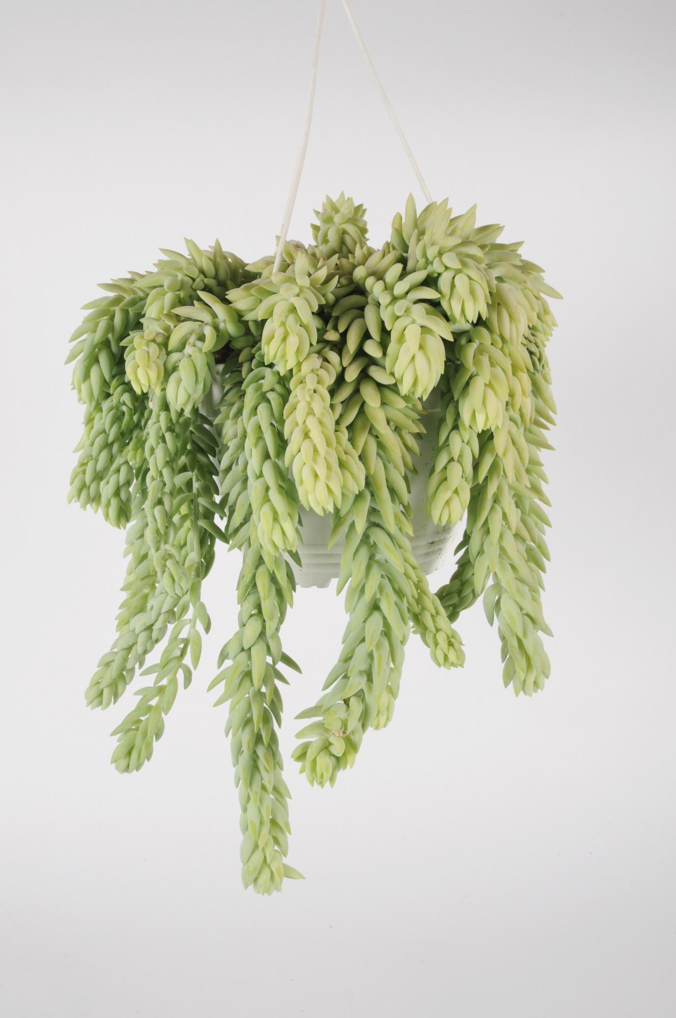 Sedum Morganianum 25cm x D19