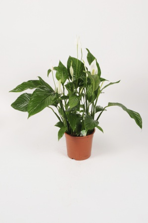 Spathiphyllium Sweet Lauretta 90cm x D24