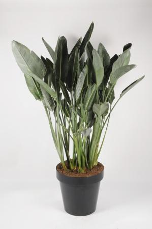 Strelitzia Reginae 180cm x D50