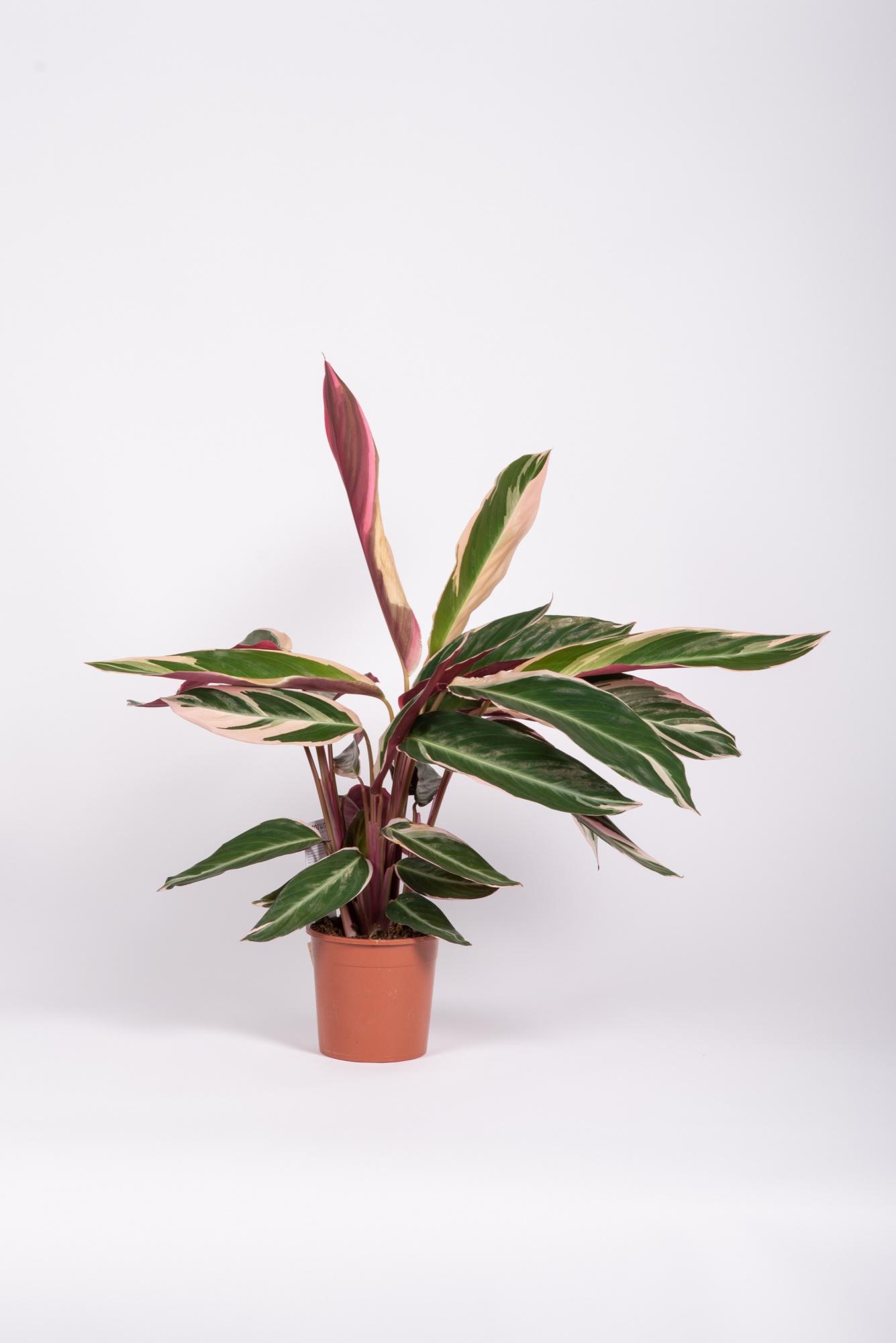 Stromanthe Triostar 40/60cm x D14