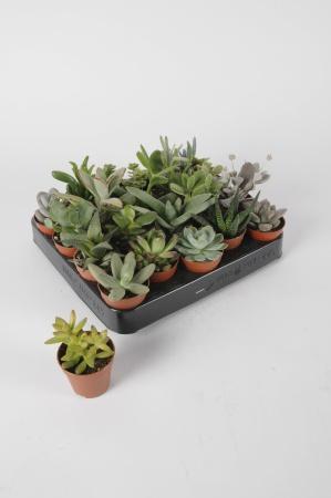 Succulentes Mixtes 15cm x D5,5