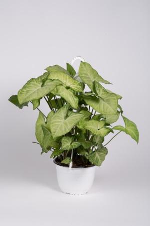 Syngonium Podophyllum 55cm x D19