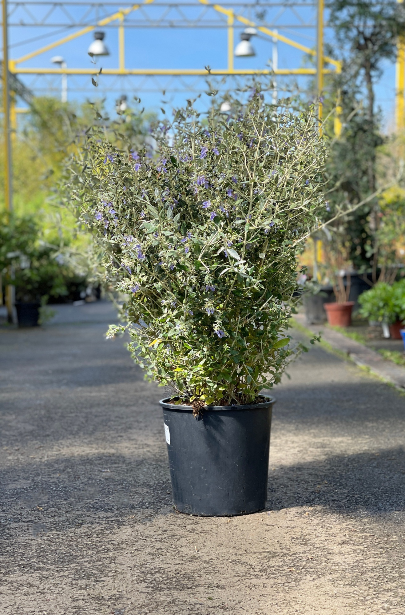 Teucrium Fructicans 90cm x 18L