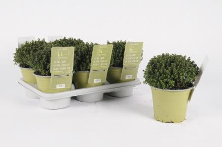 Thym Citron Vert 20cm x D14