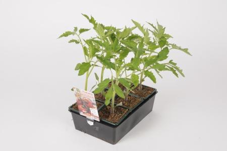 Tomate Grappelina F1 B6 30cm x D8