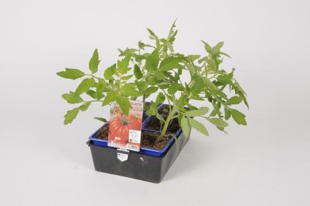 Tomate Marmande B6 30cm x D8