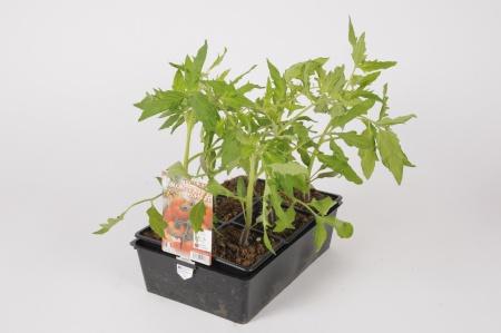 Tomate Montfavet F1 B6 30cm x D8