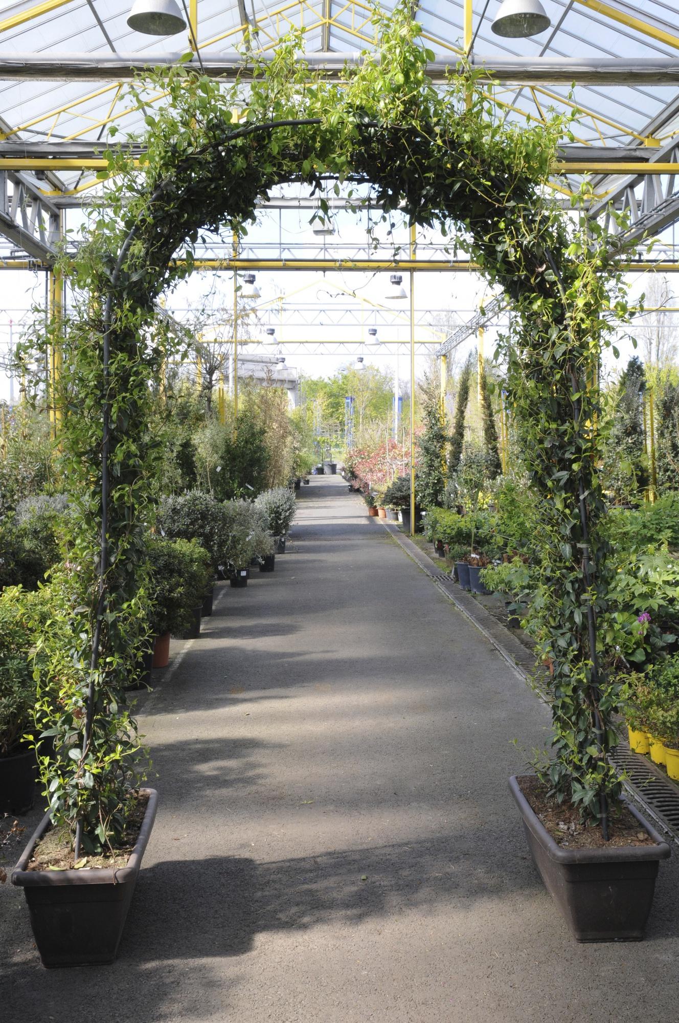 Trachelospermum Jasminoide Arche 250cm x 60L