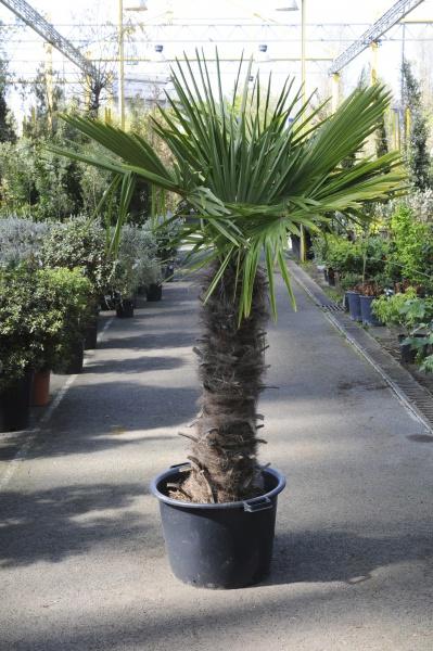 Trachycarpus Fortunei 160cm x 55L