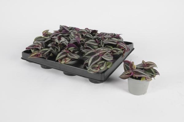 Tradescantia Purple Joy 12cm x D6