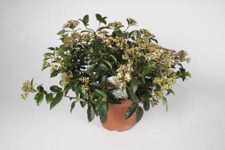 Viburnum Tinus 50cm x D14