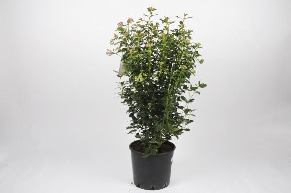 Viburnum Tinus Struik 90cm x D30