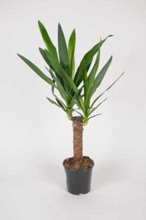 Yucca Elephantipes 60cm x D14