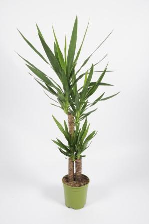 Yucca Elephantipes 95cm-D19