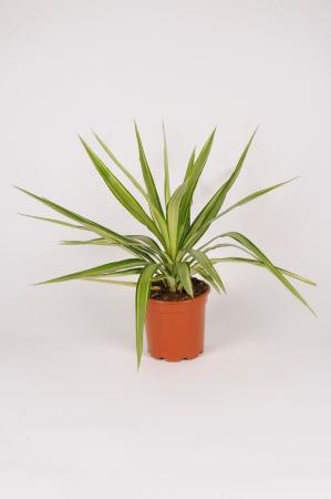 Yucca Jewel 50cm x D17