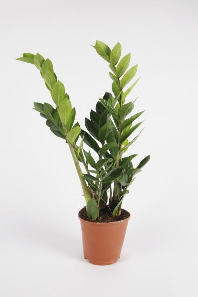 Zamioculcas Zamiifolia 50cm-D12