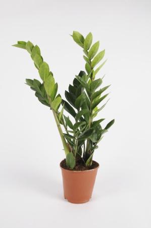 Zamioculcas Zamiifolia 60cm-D17