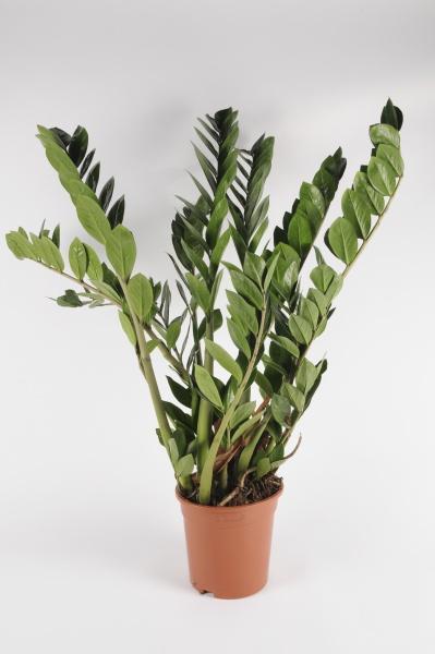 Zamioculcas Zamiifolia 90cm-D21